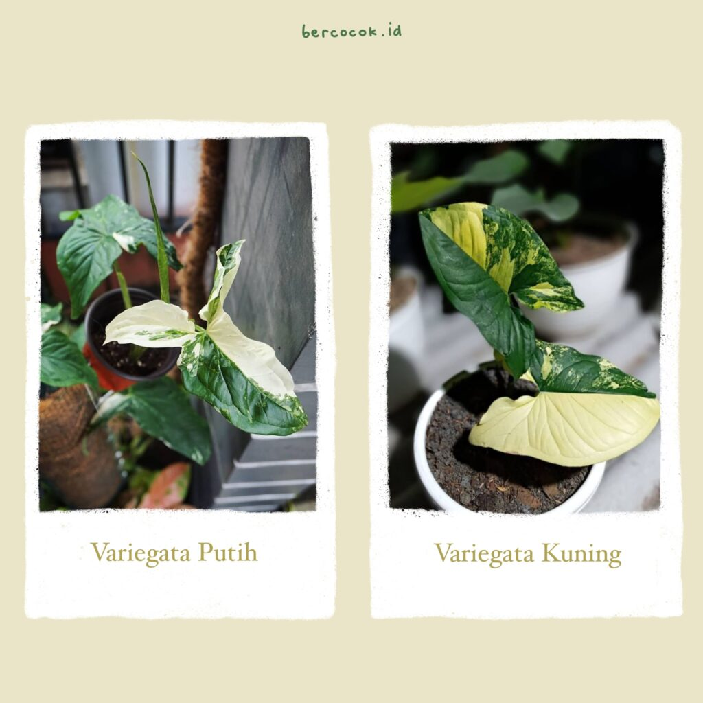 Syngonium Variegata Kuning