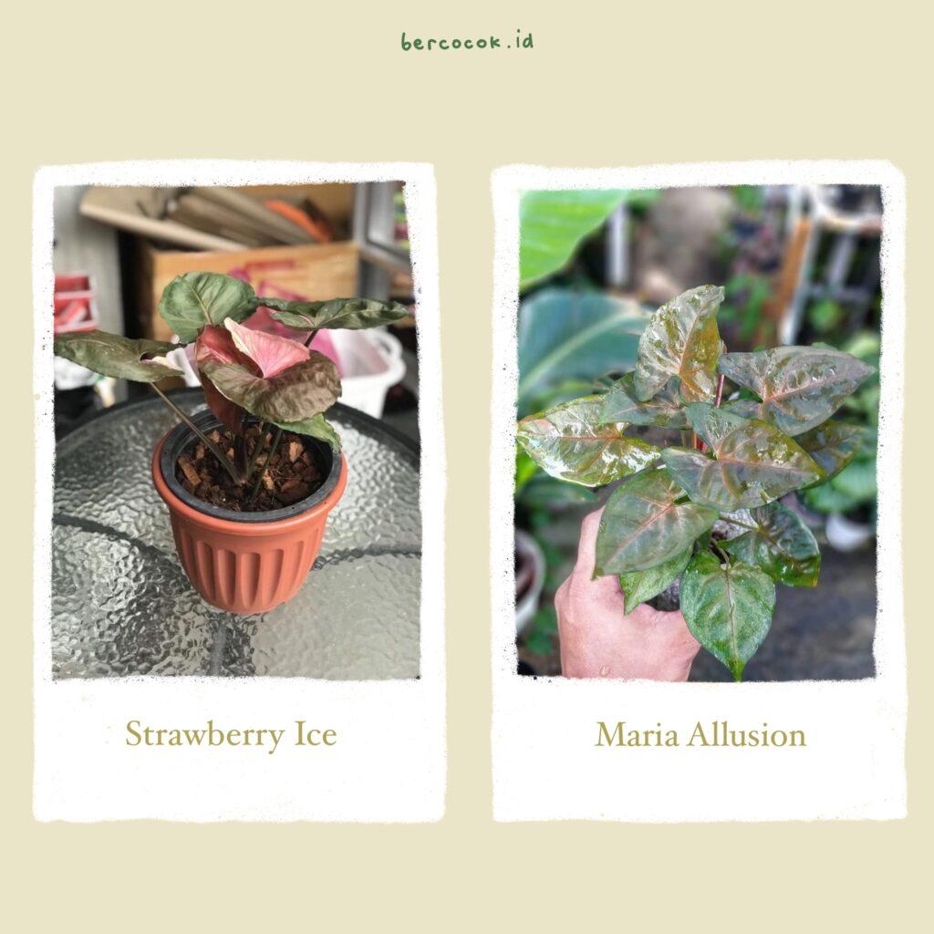 Syngonium strawberry ice