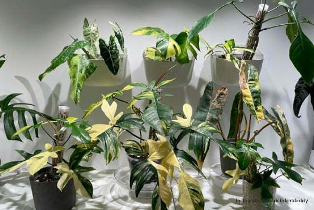 Philodendron_hits
