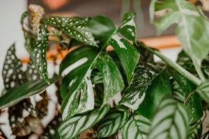 tanaman hias daun