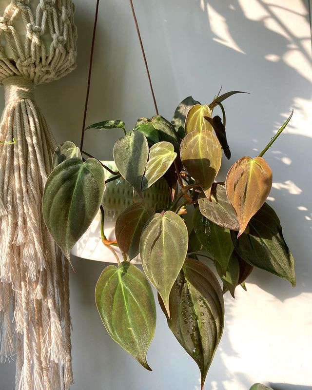 Philodendron micans