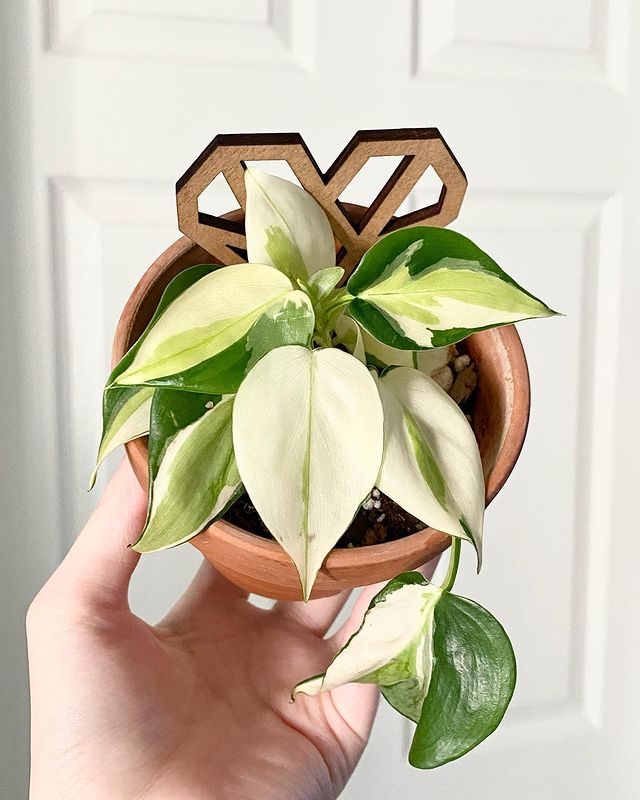 Philodendron gabby