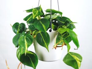 Philodendron gantung