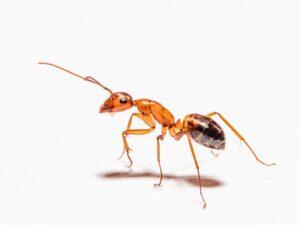 menghilangkan semut pada tanaman hias